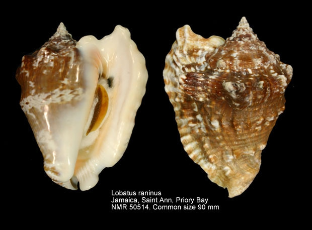 Lobatus raninus