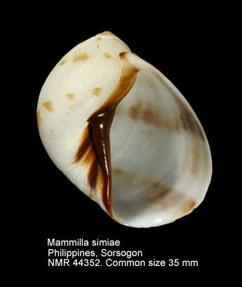 Mammilla simiae