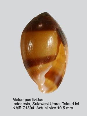 Melampus coffea
