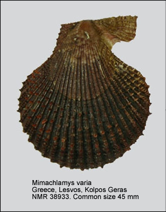 Mimachlamys varia