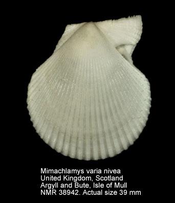Mimachlamys varia nivea