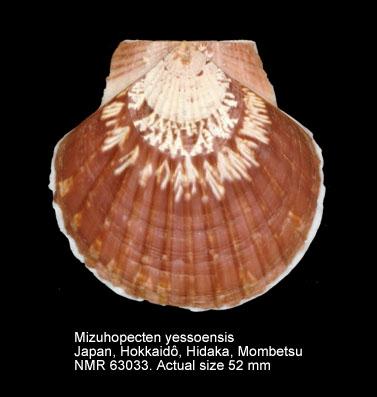 Mizuhopecten yessoensis