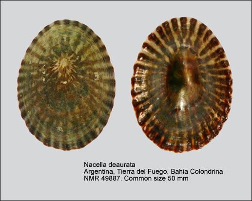 Nacella deaurata