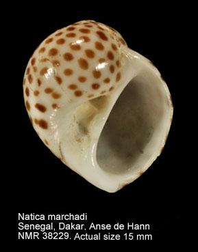 Natica marchadi
