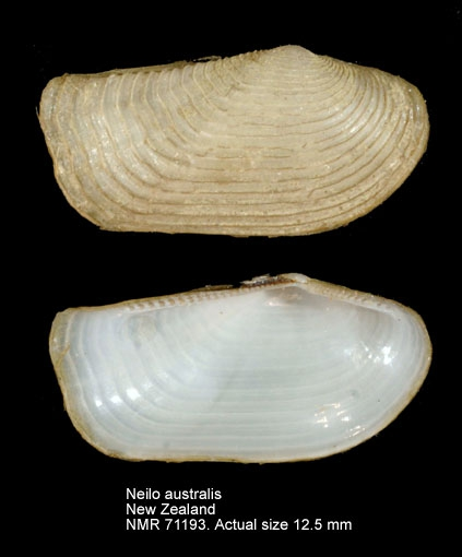 Neilo australis