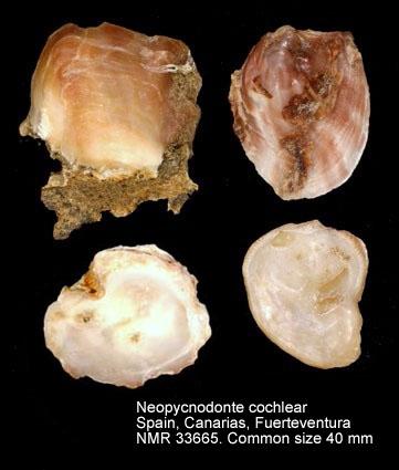 Neopycnodonte cochlear