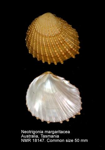 Neotrigonia margaritacea