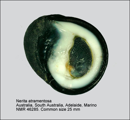 Nerita (Lisanerita) atramentosa