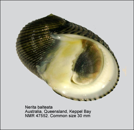 Nerita balteata