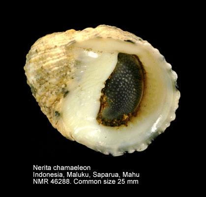 Nerita chamaeleon