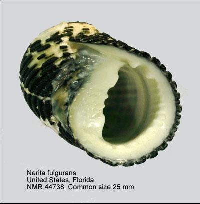 Nerita fulgurans
