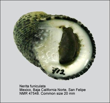 Nerita funiculata