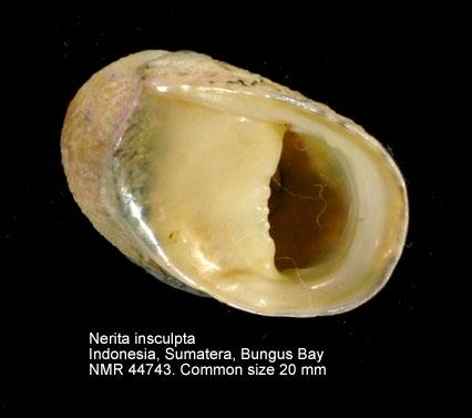 Nerita insculpta