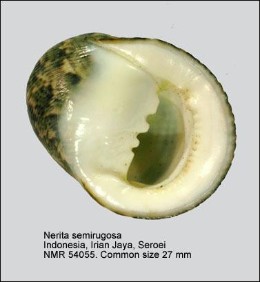 Nerita semirugosa