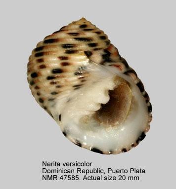 Nerita versicolor