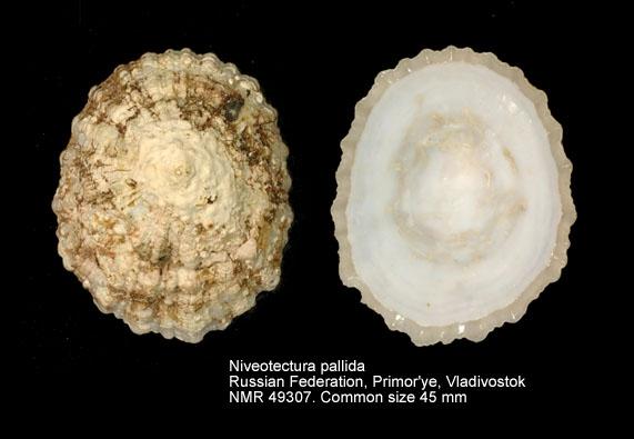 Niveotectura pallida