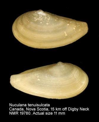 Nuculana tenuisulcata