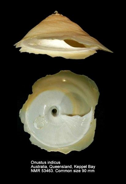 Onustus indicus