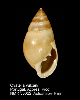Ovatella vulcani