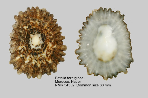 Patella ferruginea
