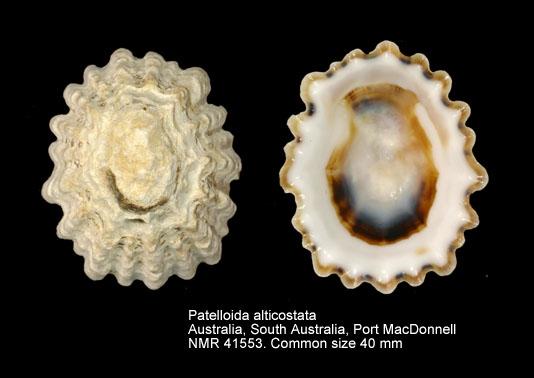 Patelloida alticostata