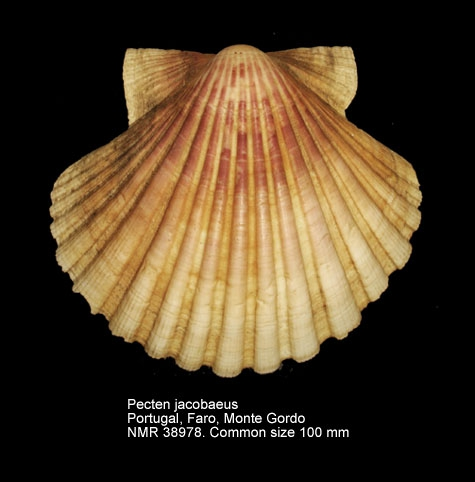 Pecten jacobaeus