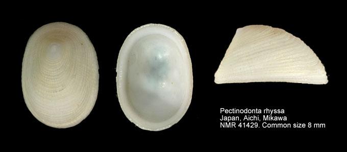 Pectinodonta rhyssa