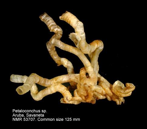 Petaloconchus varians