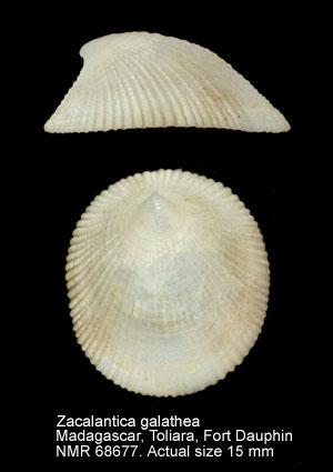 Phenacolepas asperulata