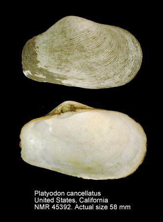 Platyodon cancellatus