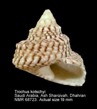Priotrochus kotschyi