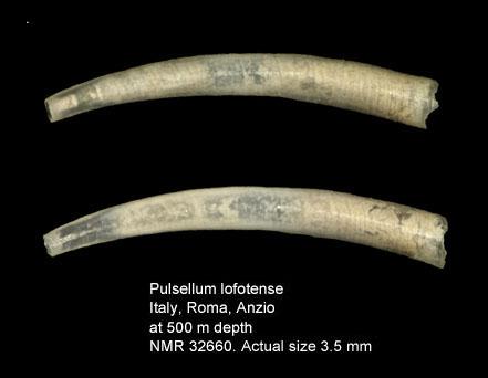 Pulsellum lofotense