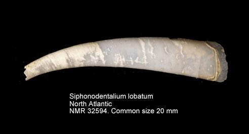 Siphonodentalium lobatum