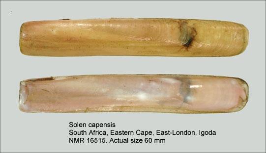 Solen capensis