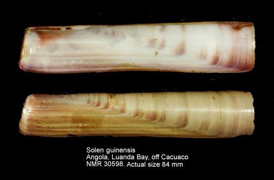 Solen guinaicus
