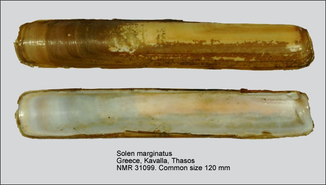 Solen marginatus