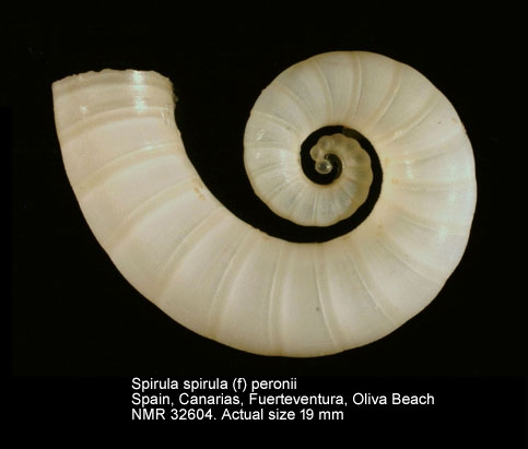 Spirula spirula