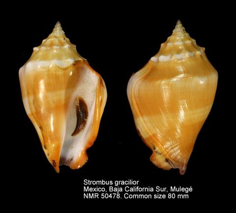 Strombus gracilior