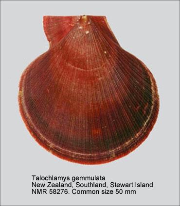 Talochlamys gemmulata