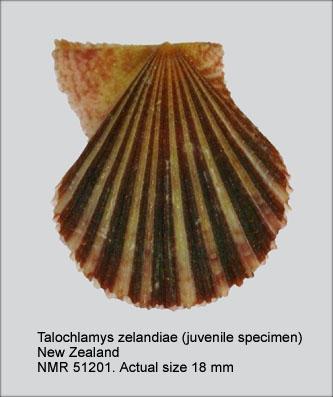 Talochlamys zelandiae