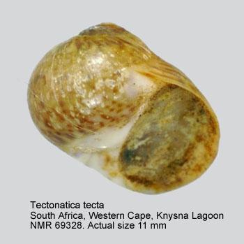 Tectonatica tecta