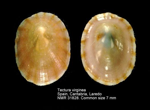 Tectura virginea