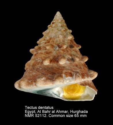 Tectus (Tectus) dentatus