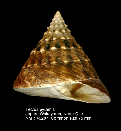 Tectus pyramis