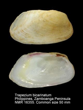 Trapezium bicarinatum