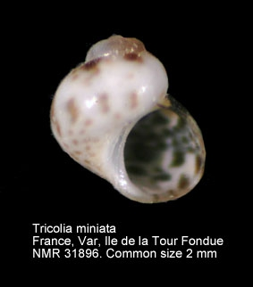 Tricolia miniata