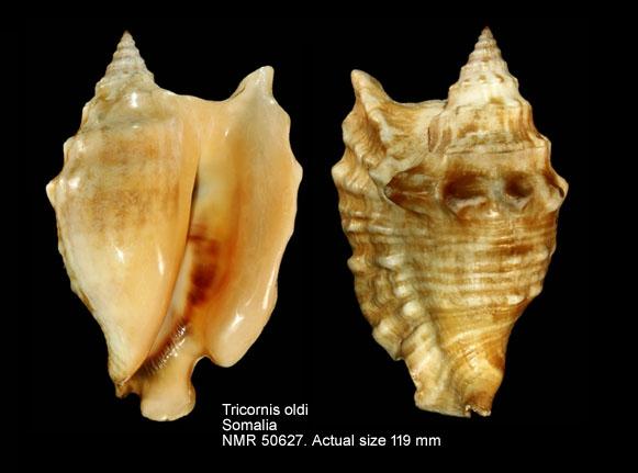 Tricornis oldi