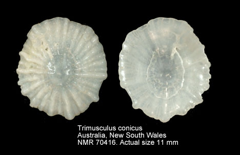 Trimusculus conicus
