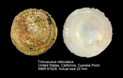 Trimusculus reticulatus