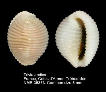 Trivia arctica